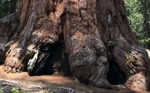 giant sequoia tree